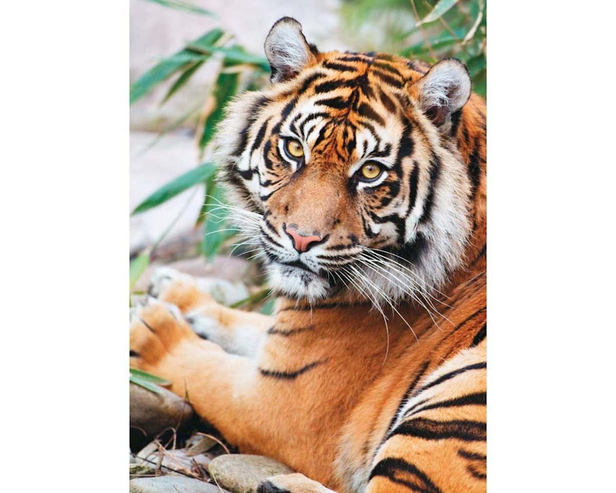 Creative Toy Company 39295 Sumatran Tiger 1000pcs
